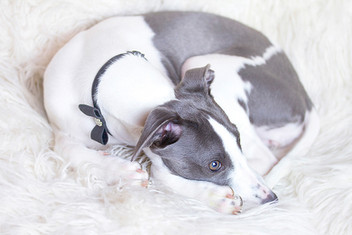 This is a pale portrait image of a grey and white whippet dog laying down on a white fluffy blanket. She is wearing a black bow with diamond decorations sewn on. Curled up, the dog is almost in a perfect circular shape. Her gaze is to the right side of the image, away from the camera.