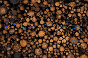 This is a landscape colour photo of logs stacked up on top of each other in a giant pile. The logs fill the image and come in a variety of sizes. There seems to be dozens, if not hundreds of them all tightly packed together with yellow cut ends poking towards the camera. Across the middle section is a blue squiggly line of spray paint and the initials NRW, which stands for Natural Resource Wales, is painted in the right hand bottom corner of the picture.