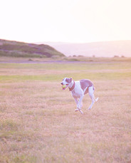 This is a pale portrait image of a grey and white whippet running through a field with a yellow ball in her mouth. The field is lit by beautiful sunset light, changing the scene into tones of pale pinks and oranges.