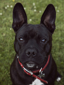 This is a portrait of a small black dog with a small patch of white on her chest. She is wearing a red colour and is looking upwards, directly into the camera. This dog is a cross between a french bulldog and a staffordshire bulldog, so has big tall ears and a wide head and larger snout than typical french bulldog. The image is cropped into a close up shot. Behind her is dark green grass.