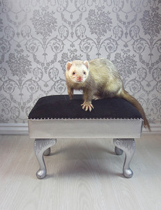 This is a portrait image of a pale yellow ferret stood on a black and silver stool with diamond decorations. The image captures the ferret front on with it's one paw out stretched as if it were purposefully posing for the camera. Behind him is a silver and white victorian printed wallpaper pattern, making the photo seem rather regal. Underneath the stool is a white wooden floor.