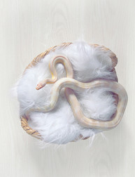 This is a photo from above of a small corn snake that is pale yellow and white in colour. The snake's body is layer on itself so that almost it's full length of body is on show as it lays in a fluffy white blanket in a whicker basket. Underneath the basket is a white wooden floor.