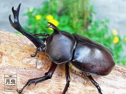 夏の昆虫 カブトムシ