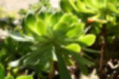 Succulent Leaves 2