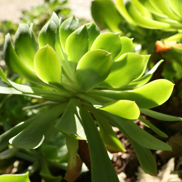 Succulent Leaves 2