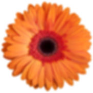orange-gerbera-daisy-on-white-background