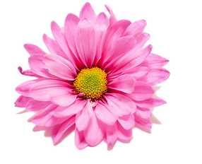 Pink Daisy.png