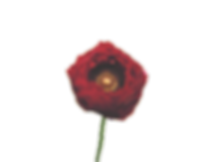 Ranunculus Red 3_edited.png