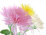Anastasia Yellow Pink White.jpg