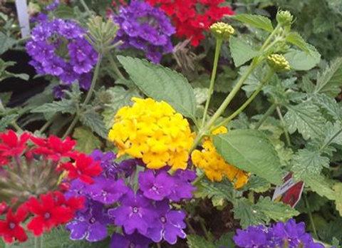 Red & Purple Verbena with Yellow Lantana