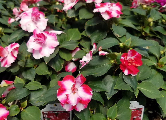 Double Impatiens Cherry Sizzler
