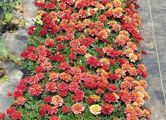 Speciality Pink Marigolds