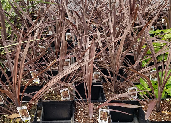 Cordyline Red Spikes