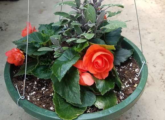 Nonstop begonia with Garden Sage