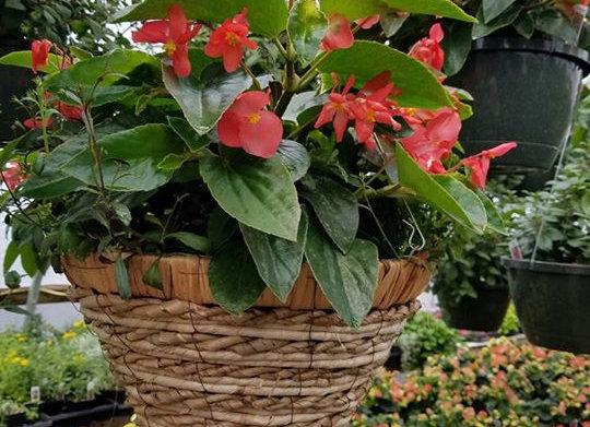 Dragon Wings Begonia Basket