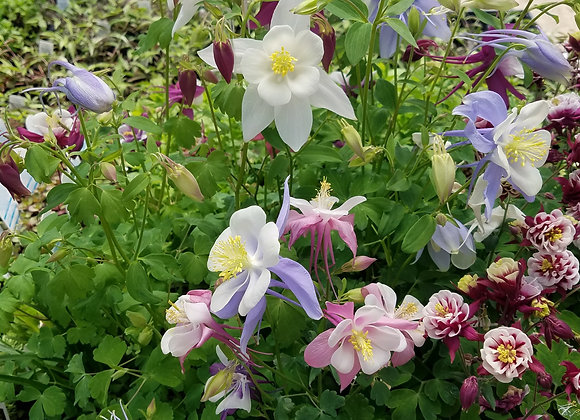 Songbird Columbine