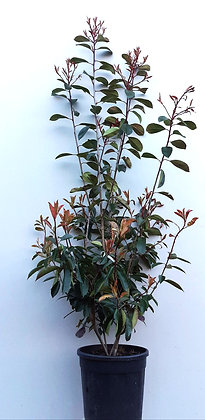 PHOTINIA FRASERI RED V.19