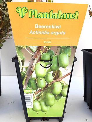 ACTINIDA ARGUTA V.16
