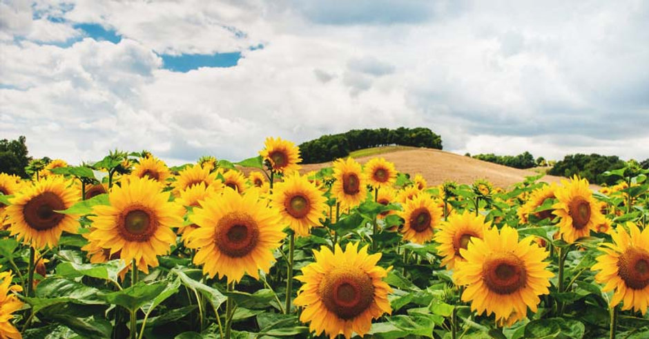 Sunflowers-How-to-Plant-Grow-and-Take-Ca