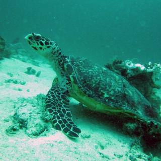 Island_divers_caluya_diving_turtle_IMG_0