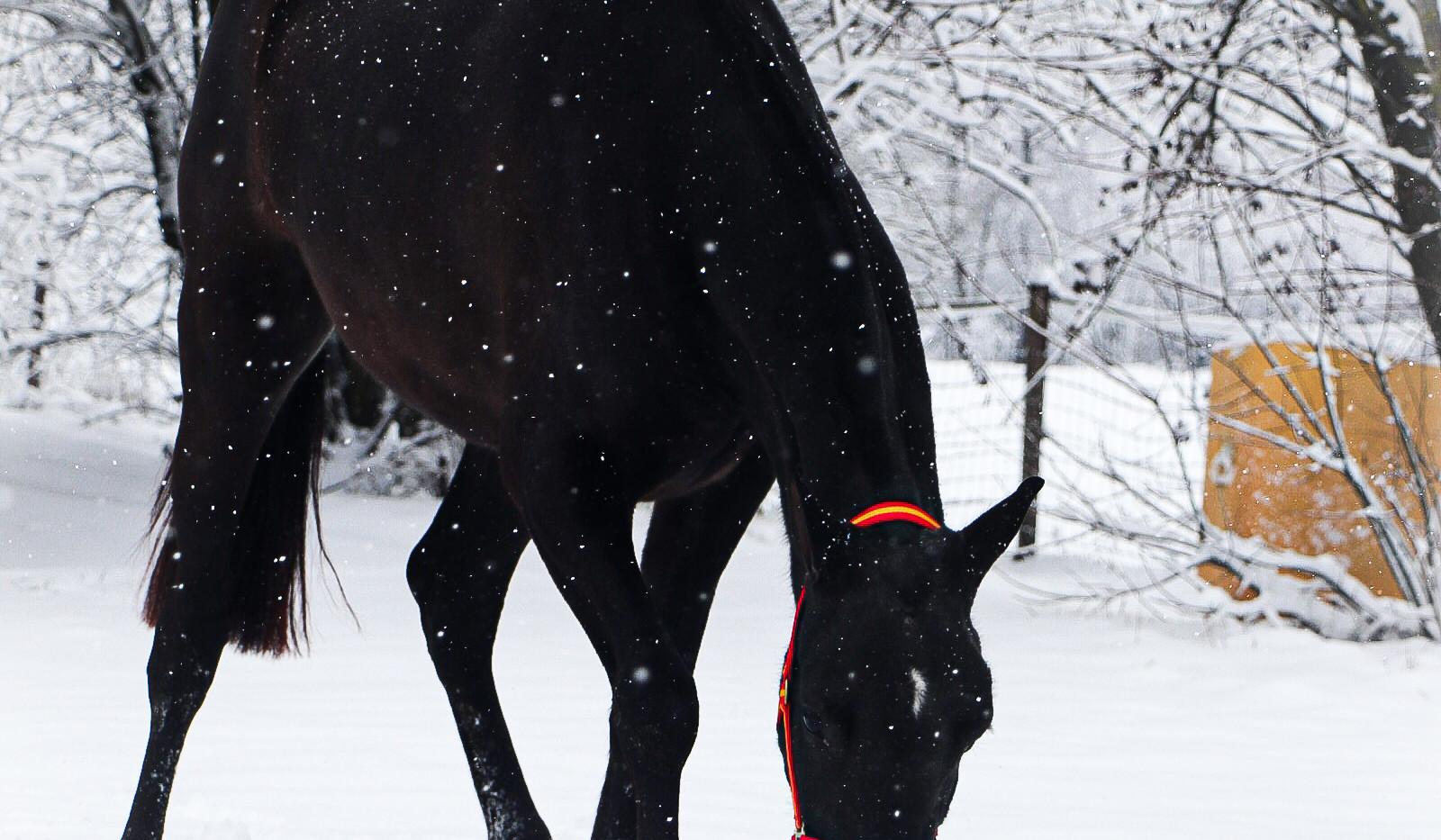 #pre #purarazaespañola #premare #chevalibérique #chevalespagnol #spanischepferde #purraceespagnol #iberischepferde #beautifulhorses