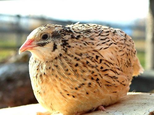Инкубационное яйцо феникс золотистый, 20 шт.
