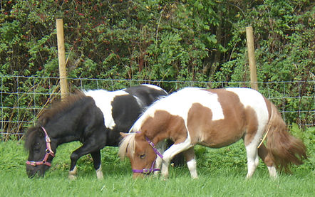 lilly and bella in field mini horses