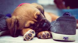 short-coated-brown-puppy-sleeping-beside
