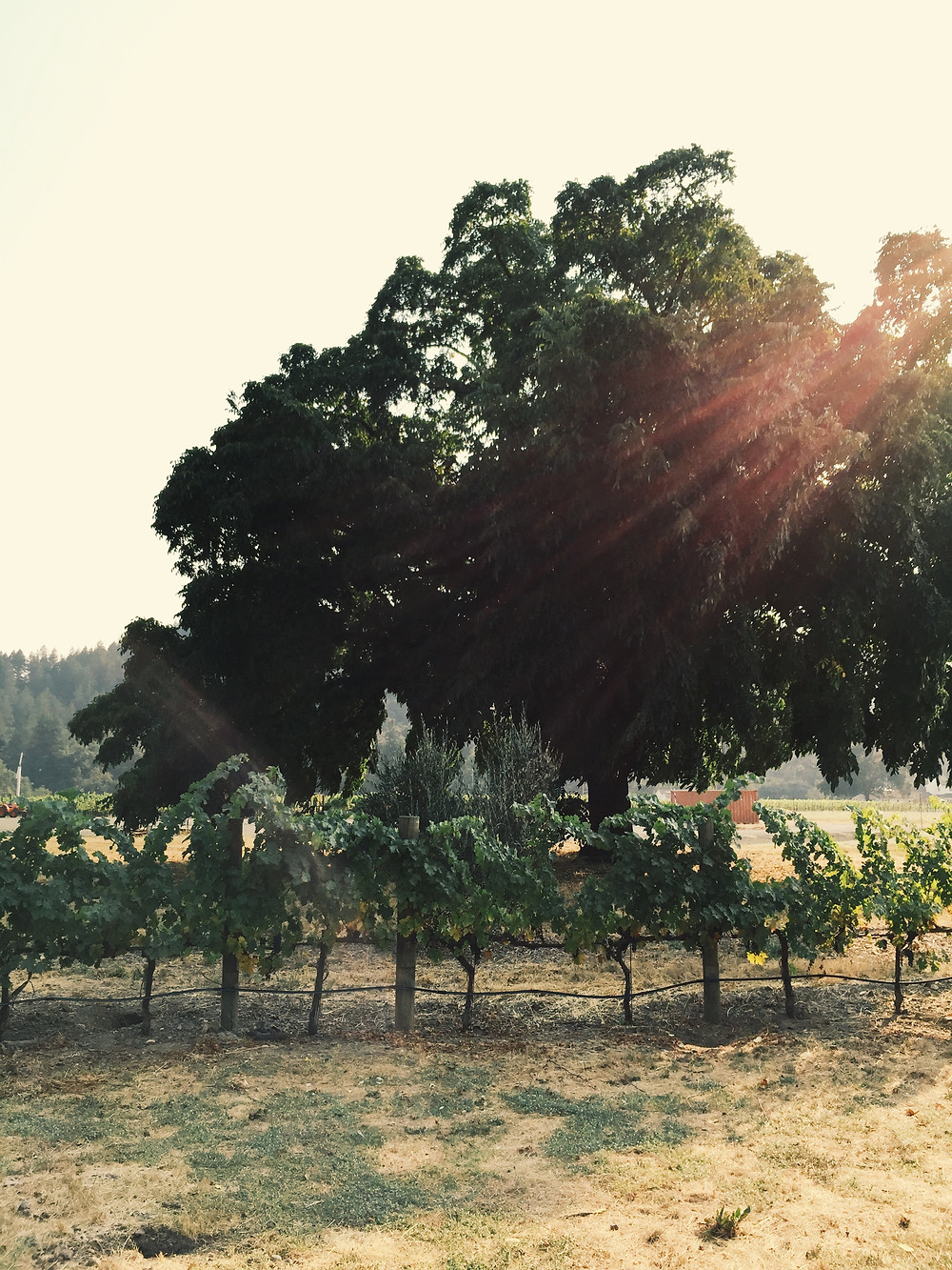 Morning sun hitting Work Winery, Calistoga