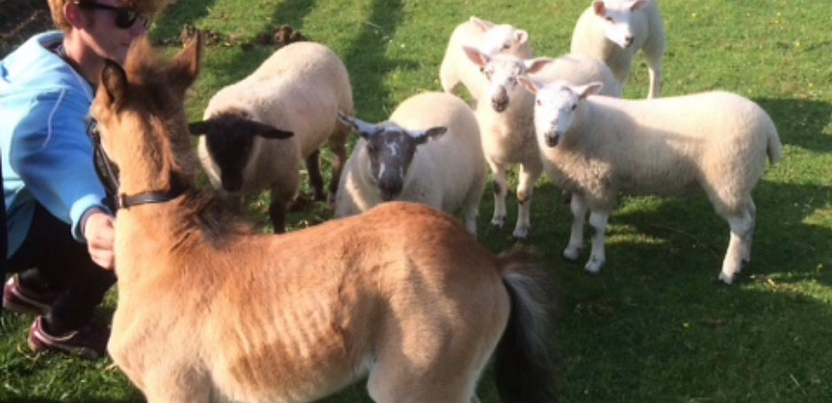 Bambi Meeting Some Of The Sheep