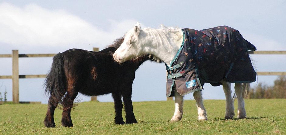 Joey & Teddy The Shetland