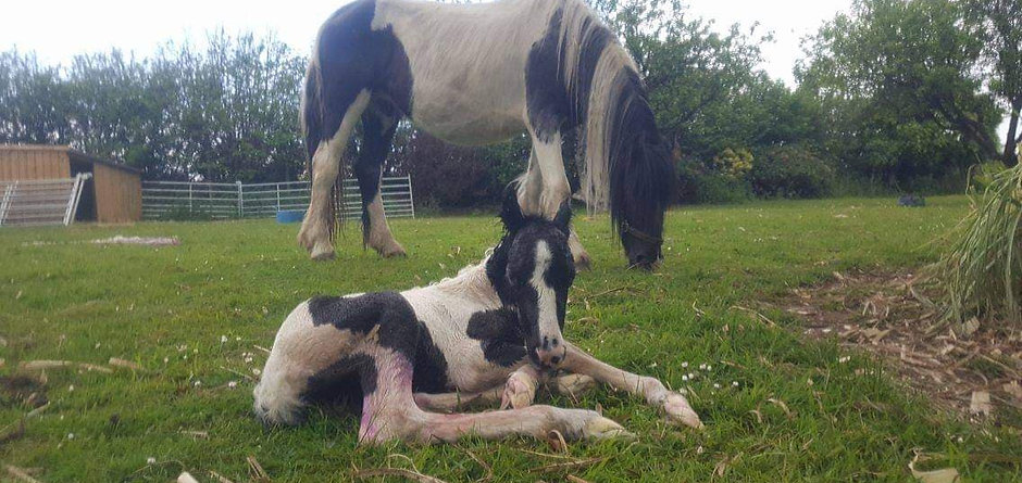 Bunny With Her Foal Jet Shortly After Being Born