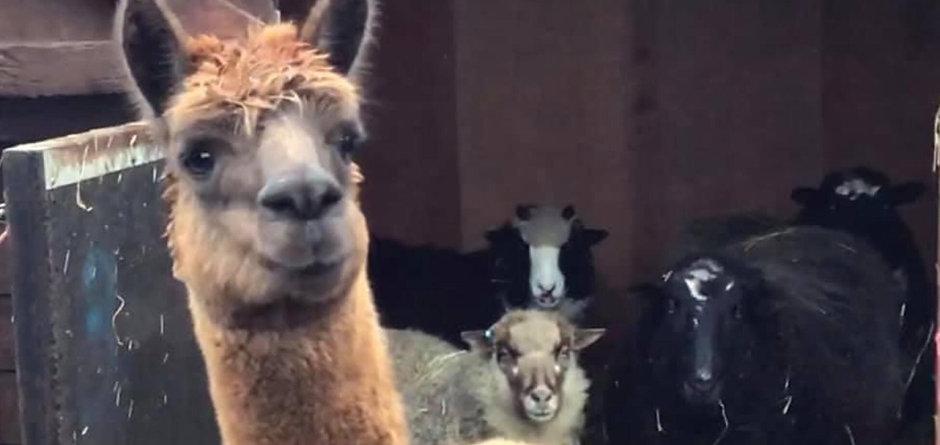 Susan, Bunty, Peter & Bramble Arriving With Jason (The Alpaca)