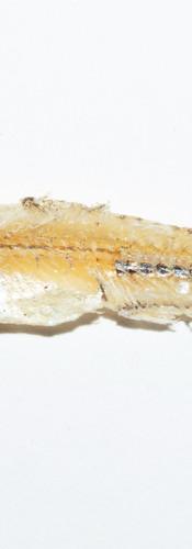 Dried Anchovy (Ikan Bilis)