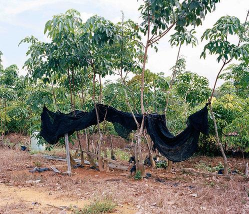 Rubber Plant Shelter