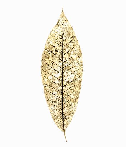 Oldest Rubber Tree Leaf