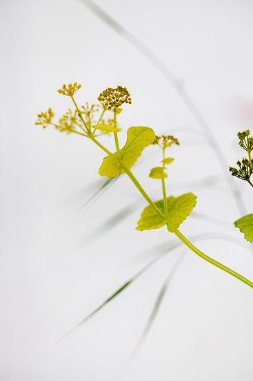 Smyrnium perfoliatum flower - Limited Edition Fine Art Giclée Print