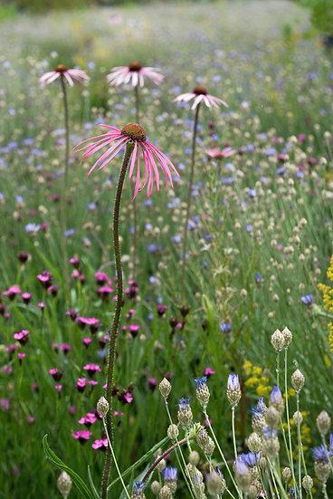 Echinacea pallida in a prairie meadow - Limited Edition Fine Art Giclée Print