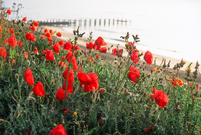 Red poppies overlooking Lyme Bay - Limited Edition Fine Art Giclée Print