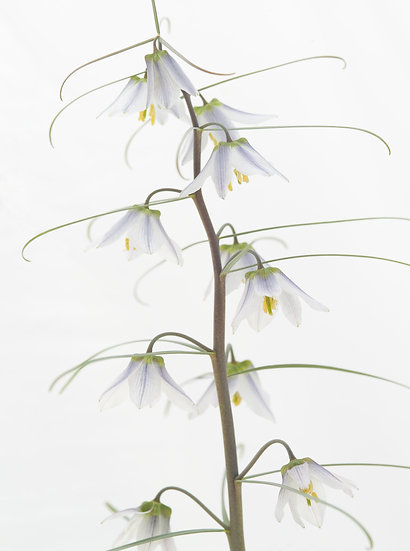 Fritillaria yuminensis - Limited Edition Fine Art Giclée Print