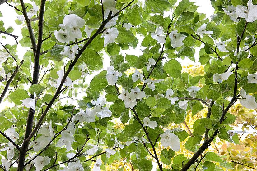 Handkerchief Tree - Limited Edition Fine Art Giclée Print