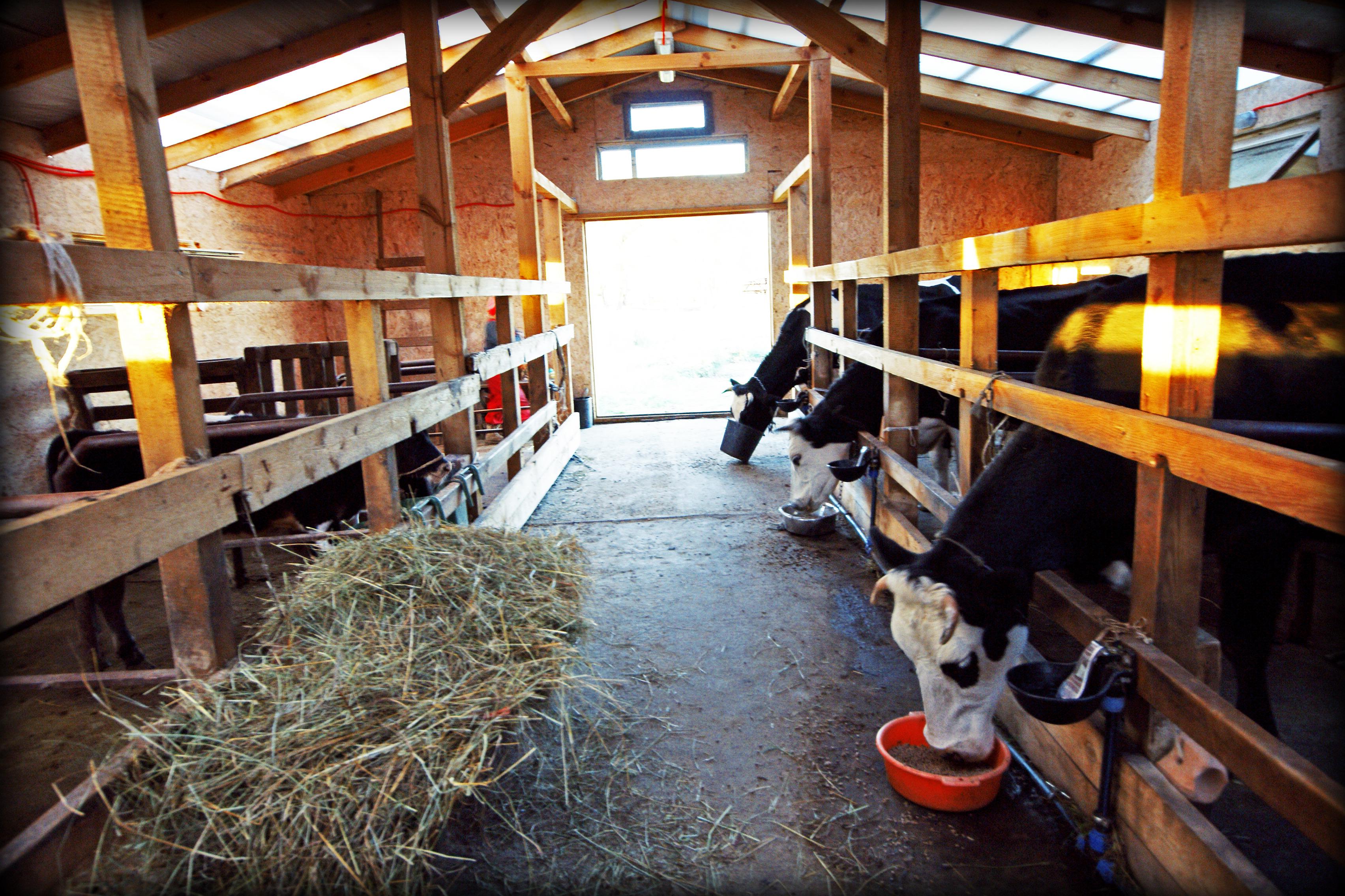 Коровки обедают