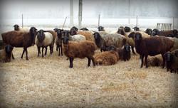 Семейное фото овечек