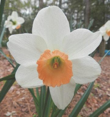 Fragrant Rose  (2 W-GPP)