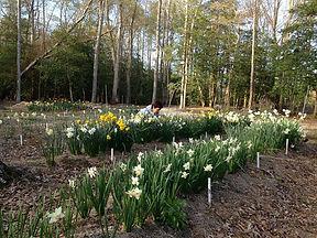 Daffodil blooming season