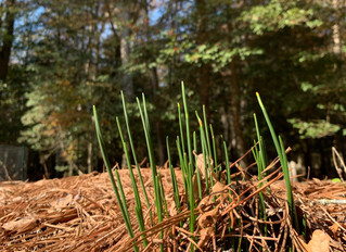 It May Be Going on Winter, But Some Daffodils are Already Prepping for Spring!