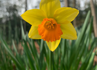 The Third Variety of Daffodil to bloom at Flower Farm on Silva - a very early FG3 Seedling bred by F
