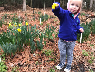 Some expert help in the daffodil fields today!