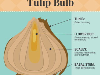 Good article on bulbs and how to force bulbs too - from Fix.com