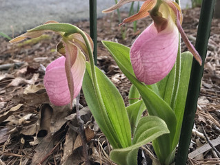 Daffodil Blooms are fading, but our native Pink Lady Slippers are blooming, irises are starting to b
